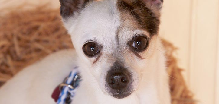 Young Chihuahua dog. You can help dogs like her find a home by posting her picture on social media sites like Facebook.