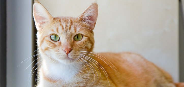 Healthy orange tabby cat who receives regular veterinary checkups