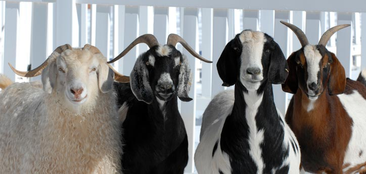 Goats and sheep like these can make great pets. Consider adopting one.