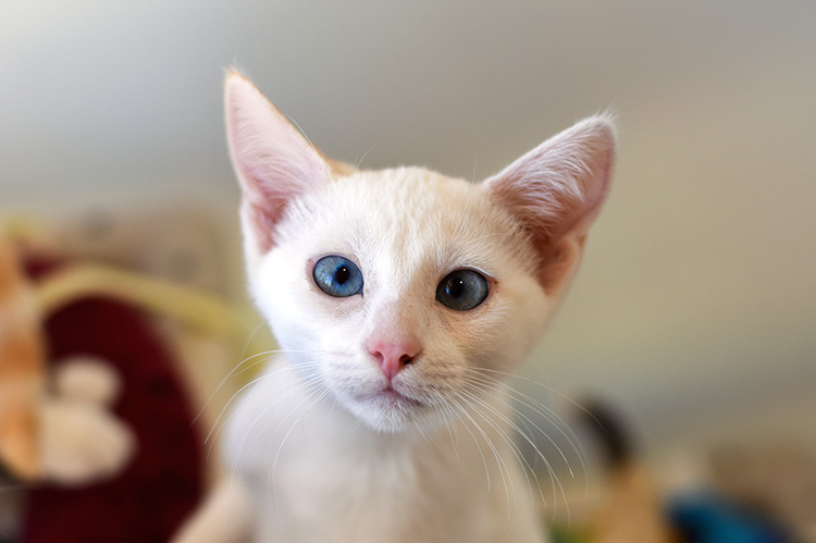 White kitten with blue eyes and big ears