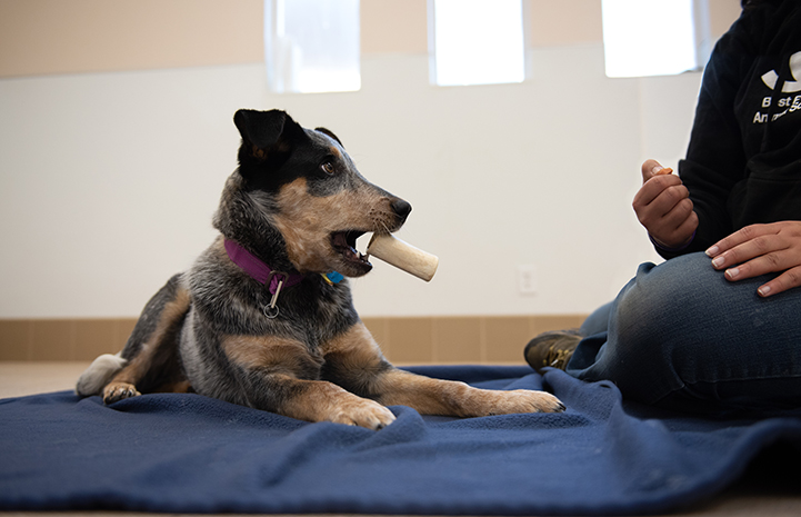 Heeler dog with a bone in his mouth next to a person training her to trade