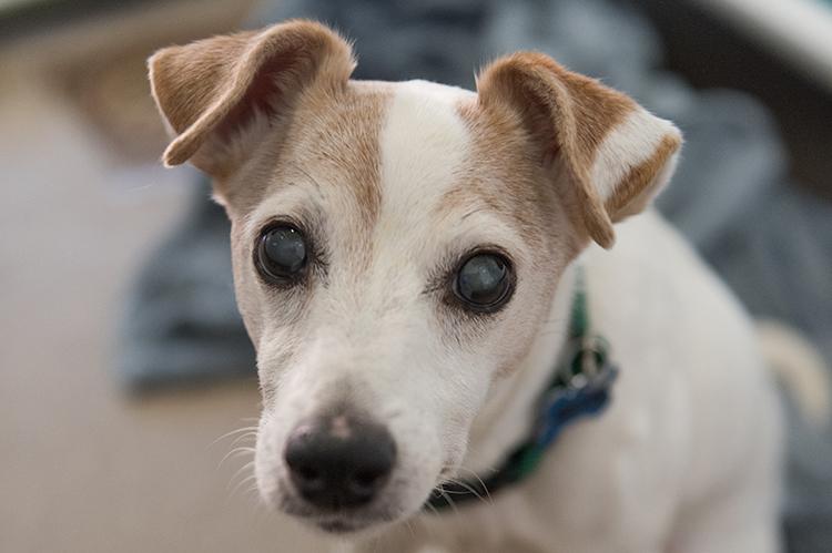 Um cachorrinho tipo terrier com orelhas caídas e catarata nos olhos