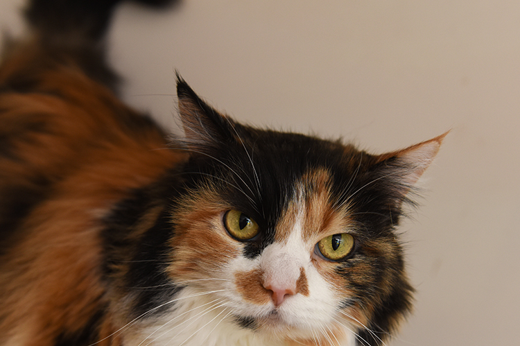 Calico cat with ears back a bit, but tail up