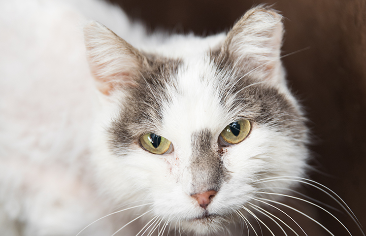 Older gray and white cat with an ear tip