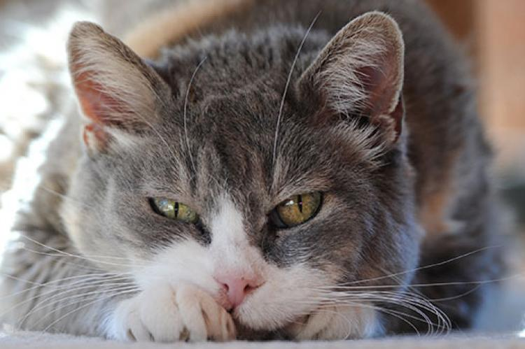 Stomatitis in Cats | Best Friends Animal Society