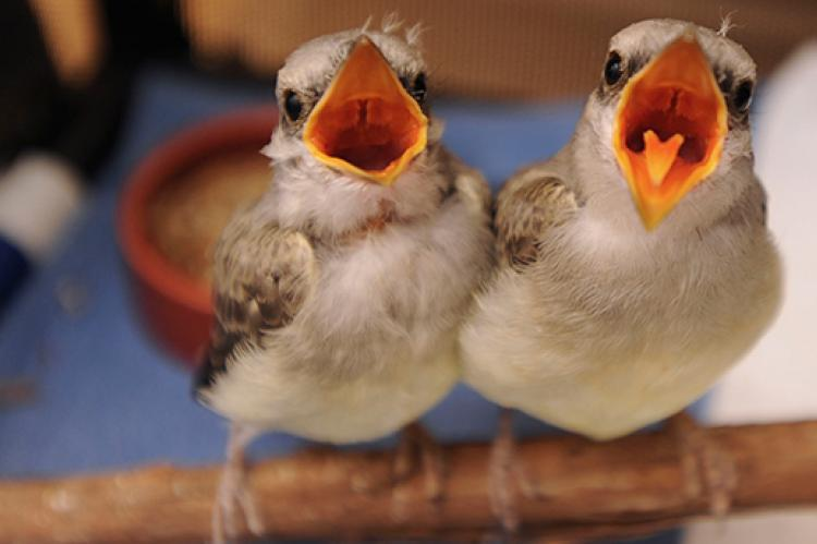 Baby western king birds who were rescued and rehabilitated