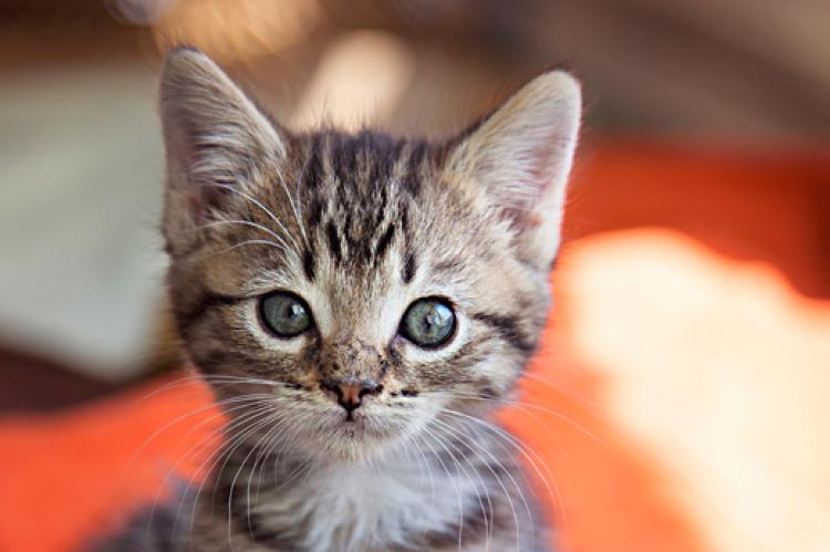 Kitten nurseries save the lives of kittens like this four-week-old brown tabby