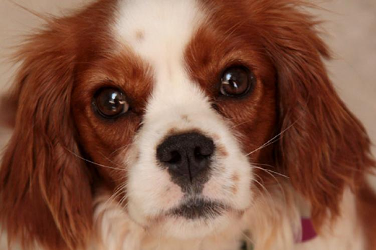 Cavalier King Charles Spaniel puppy. Purebred puppies like this one are sadly surrendered to shelters at an alarming rate.