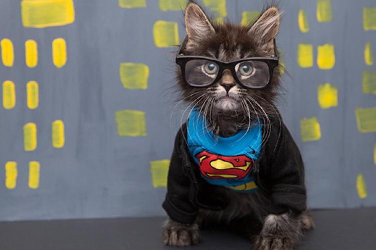 Tabby kitten dressed up as Clark Kent (Batman)