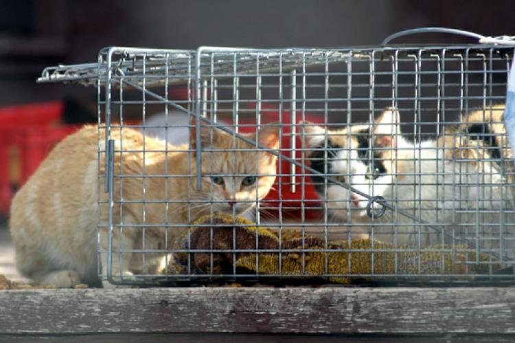Stray cats, like these two felines in a humane cat trap, enter programs for ferals in various ways.
