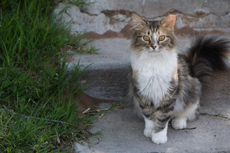 Brown tabby with white ear-tipped community cat