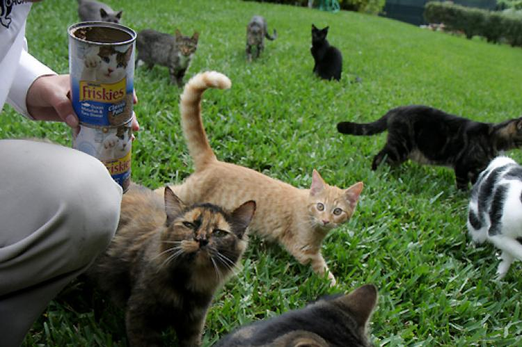 Caregiver feeding cats from the community feral cat colony