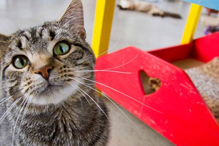 FIV-positive tabby cat