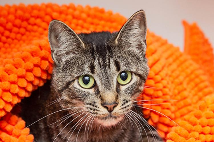 Brown tabby cat who has her bladder expressed regularly lying on an orange blanket