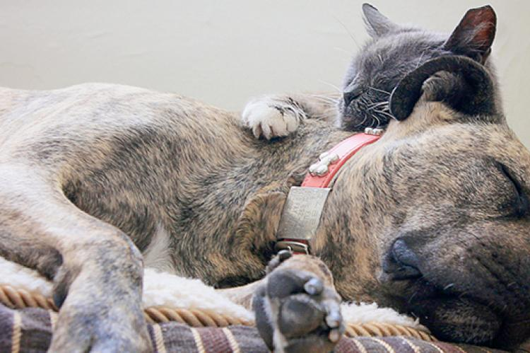 Pit-bull-terrier-type dog and cat snuggling together in a bed