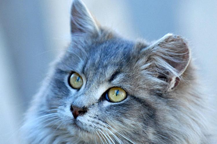 Longhair gray tabby cat who is receiving post-neuter care as part of TNR program