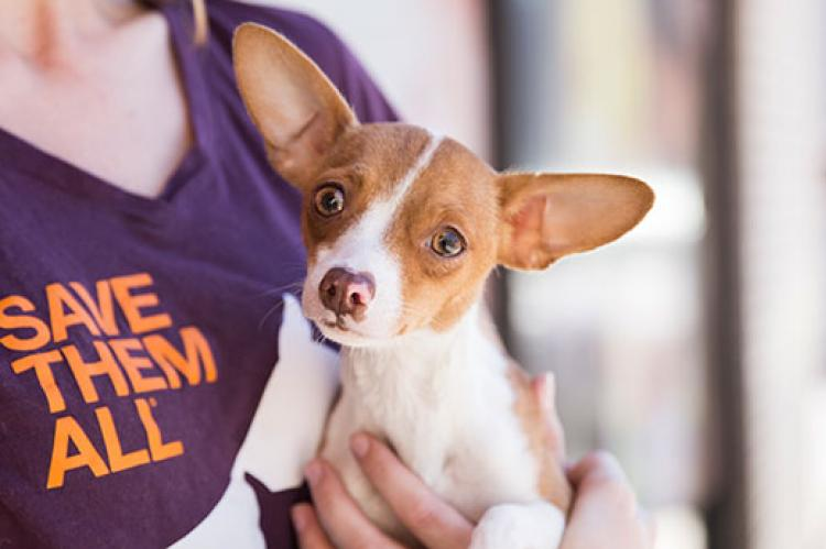 Chihuahua-type dog being held by someone wearing a Save Them All T-shirt