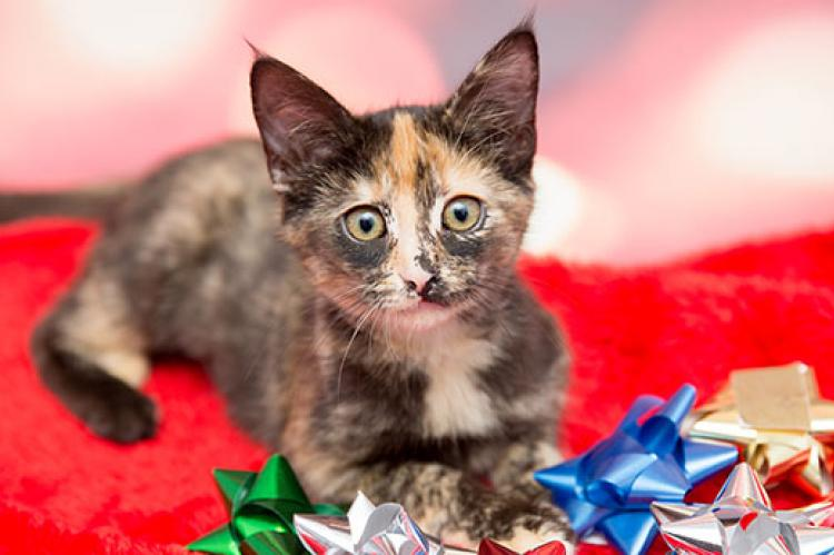 Calico kitten with holiday bows
