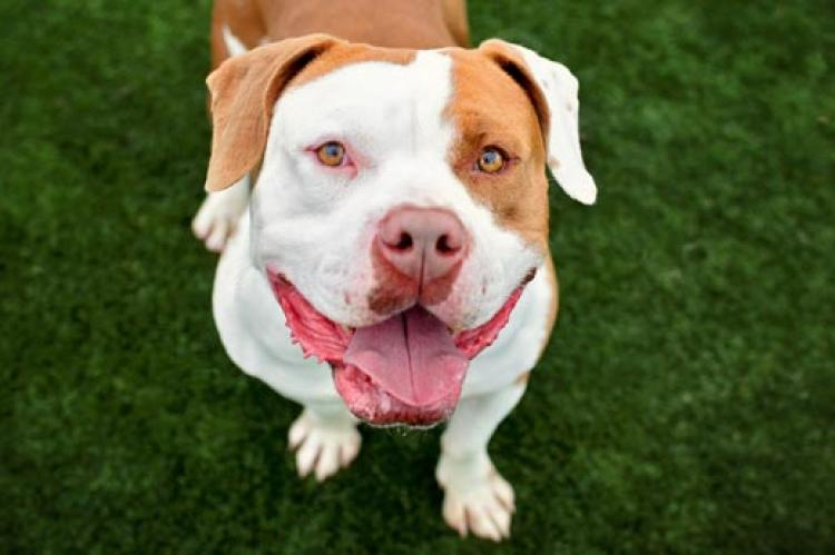 Persistence is required to find a pet-friendly landlord who will accept a friendly pitbull like this sweet, smiling guy