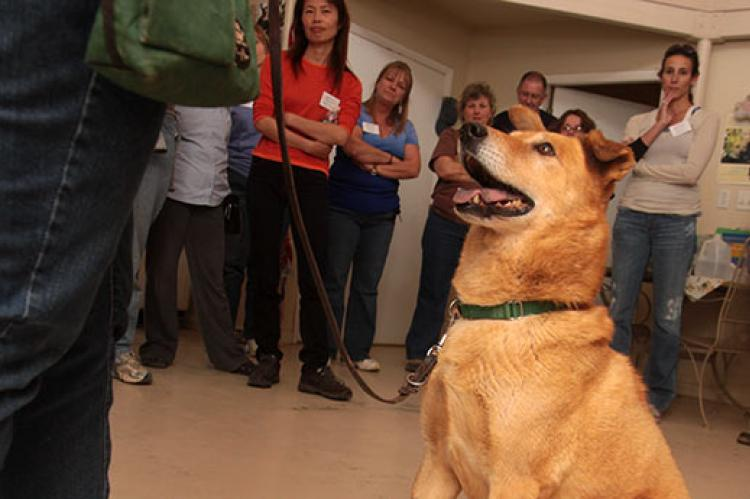 Dog in a training class learning to look at his owner