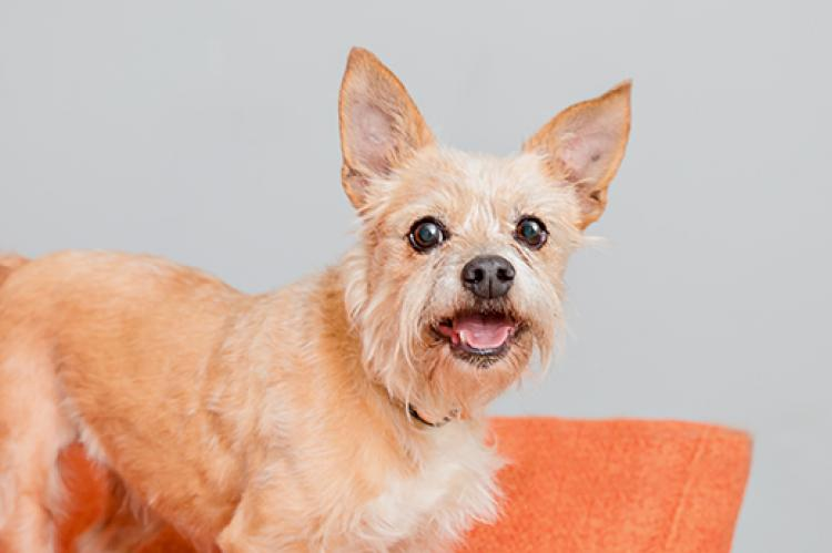 Smiling adopted small terrier mix dog on an orange chair