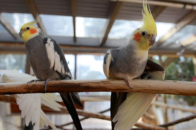 Cockatiels in a parrot cage