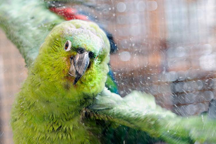 Jonny the parrot taking a shower
