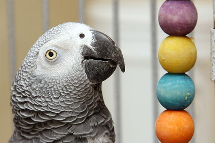 African grey parrot with wooden toy