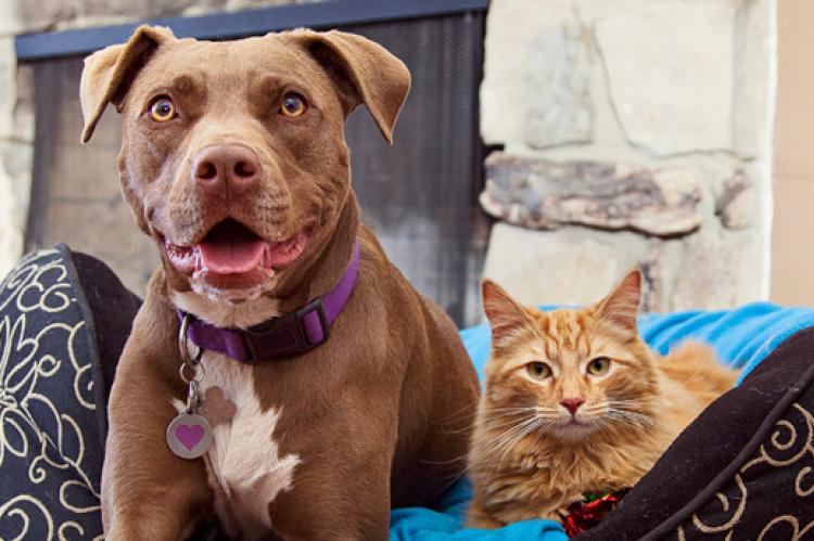 Brown pitbull and orange tabby cat