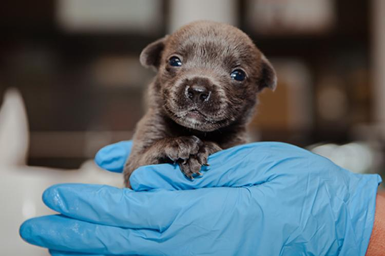 Bear, a very young neonatal puppy being held by a gloved hand