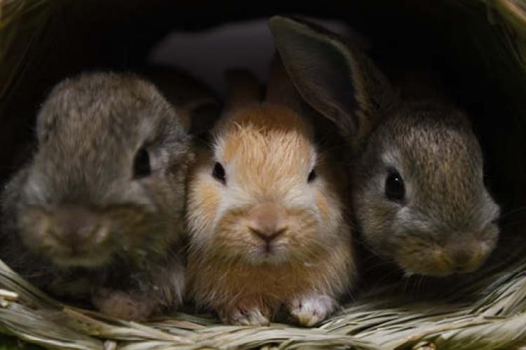 Three pet bunnies