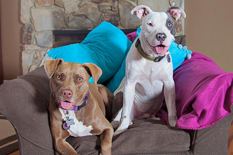 Pit bulls sitting together in a chair