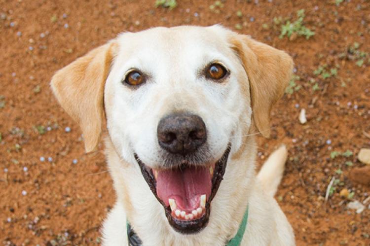 Smiling yellow Labrador retriever Sashay