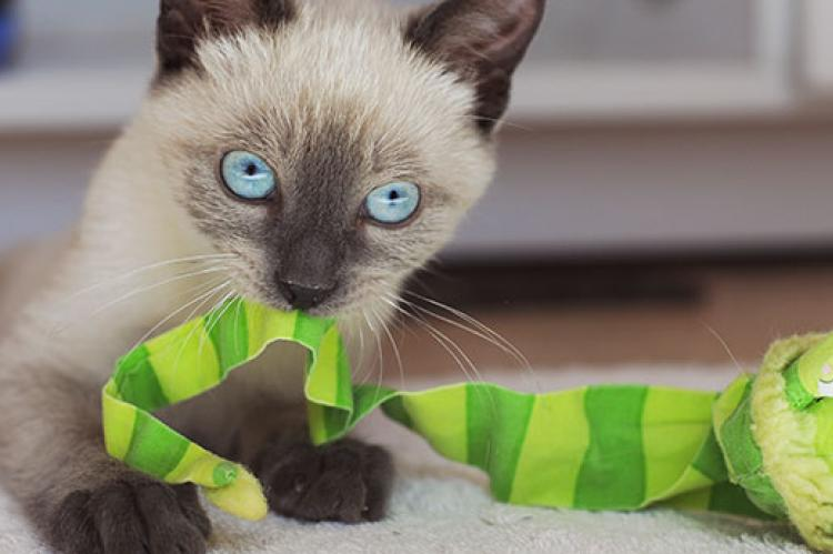 Siamese kitten enjoying some enrichment time by playing with a toy
