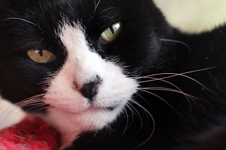 Tuxedo cat is displaying aggression toward another cat.