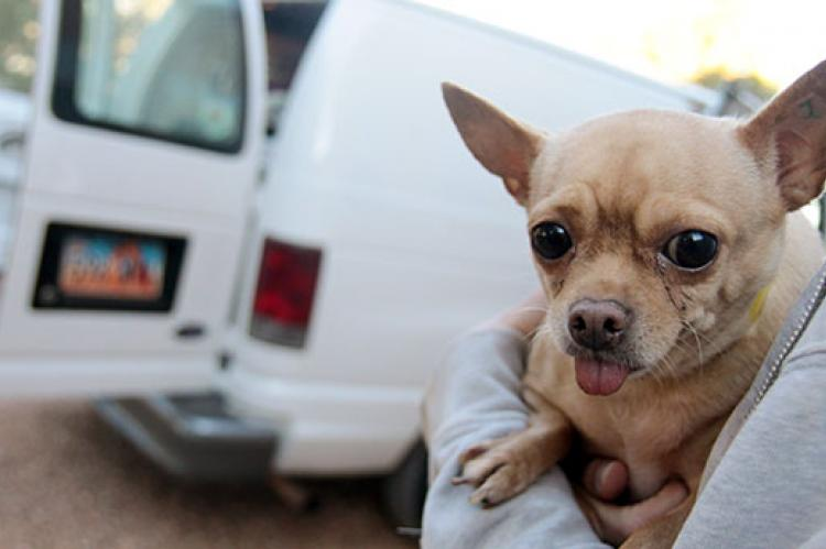 Chihuahua from puppy mill with tongue sticking out. Rescued puppy mill dogs often have health concerns that must be attended to.