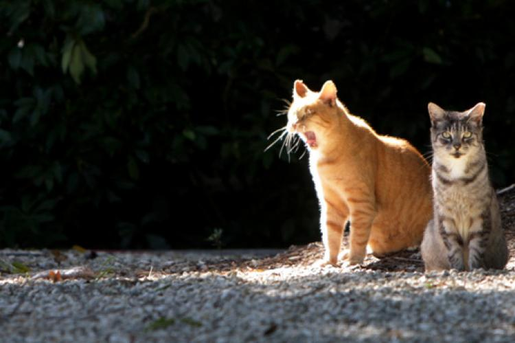 Two feral cats being helped via their city's TNR initiative