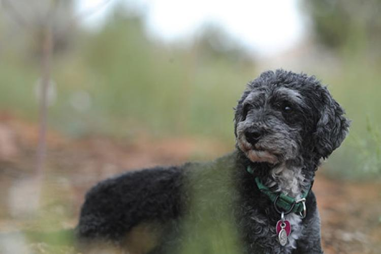 This poodle mix takes medication to prevent parasites, including heartworm.