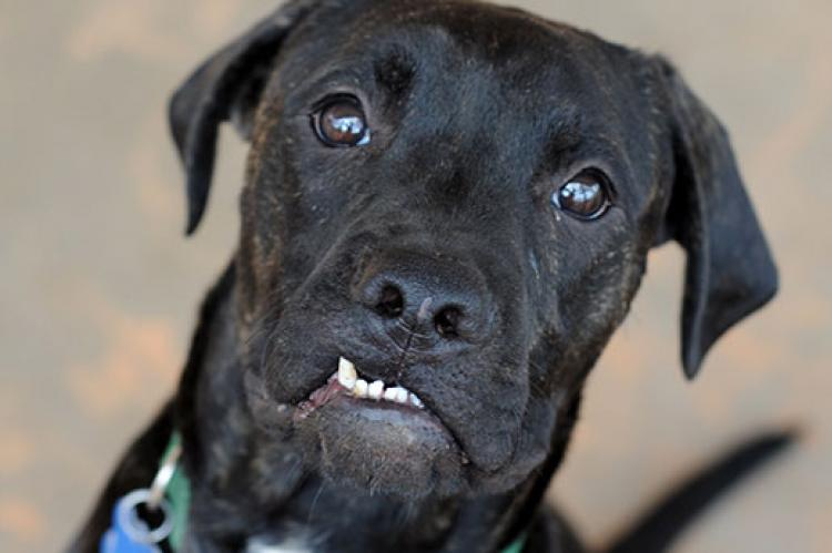 Black shelter dog with crooked teeth. He has received pet dental care and has clean teeth.