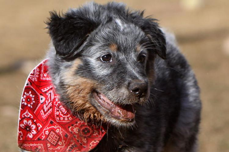 Deaf cattle dog mix puppy wearing a red bandana