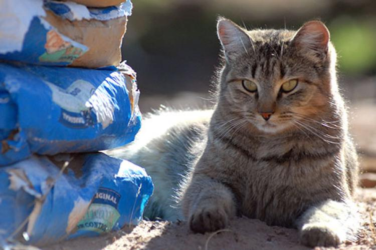 Feral tabby sitting next to donated cat food. TNR fundraising can help sustain a cat colony.
