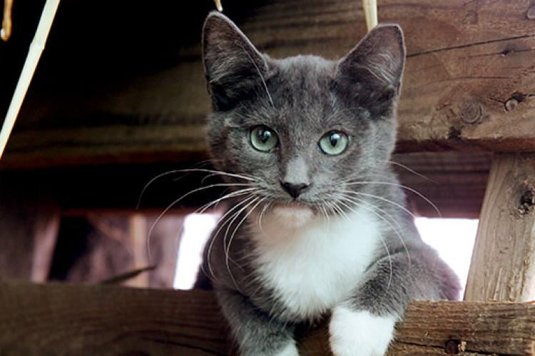 Gray-and-white feral barn cat who is part of TNR project