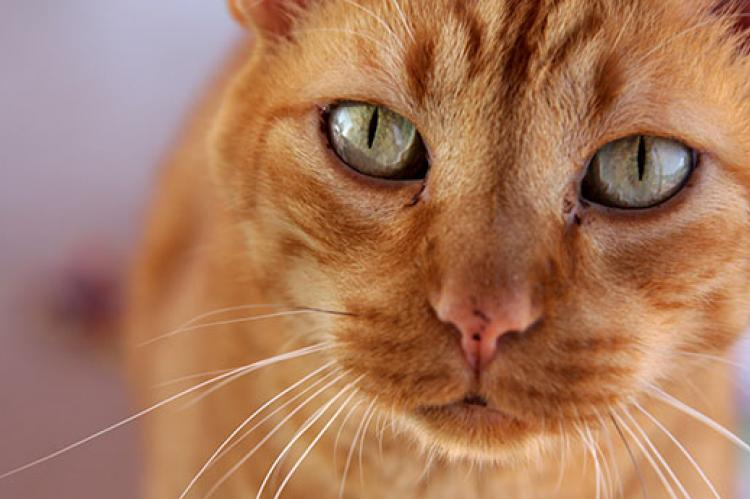Be on the lookout for pet dangers that could harm your pet, like this indoor orange tabby cat.