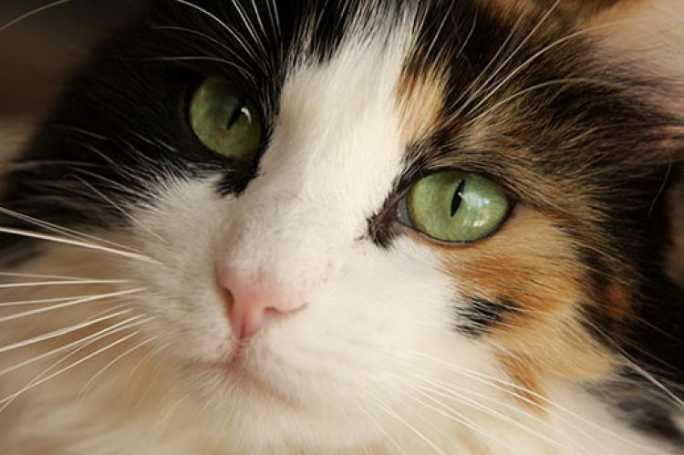 Using a picture like this one of a longhair calico cat is important for finding your lost pet.