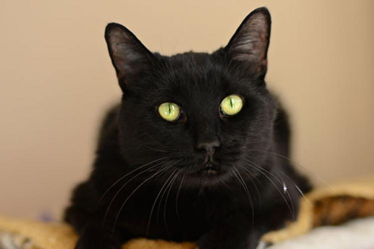 Rehoming a special-needs pet like this black cat who has hearing difficulties can be challenging, but the tips in this resource can help.