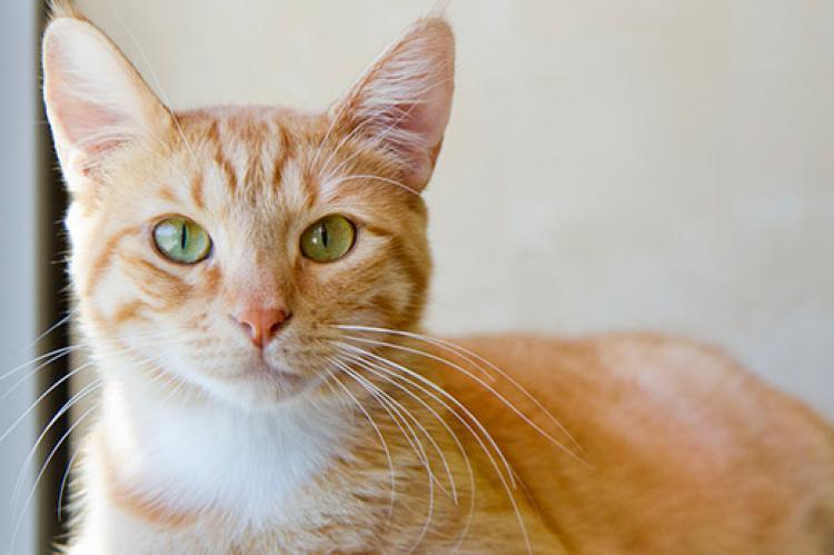 Healthy orange tabby cat who receives regular veterinary checkups