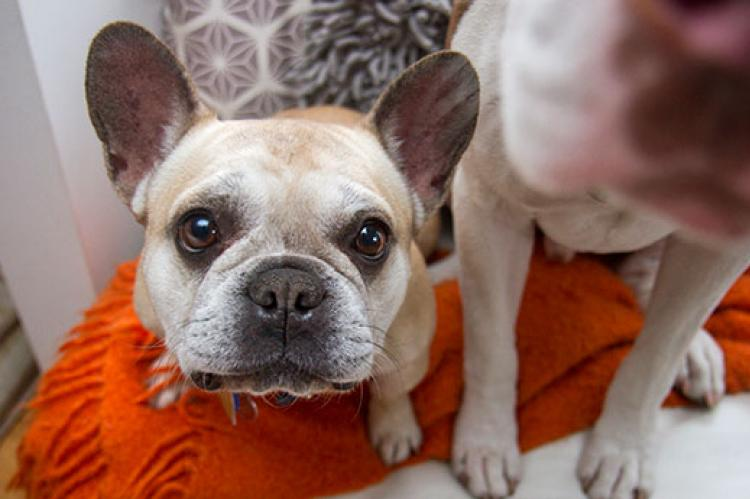 French bulldog who is going to vet for a routine checkup and care