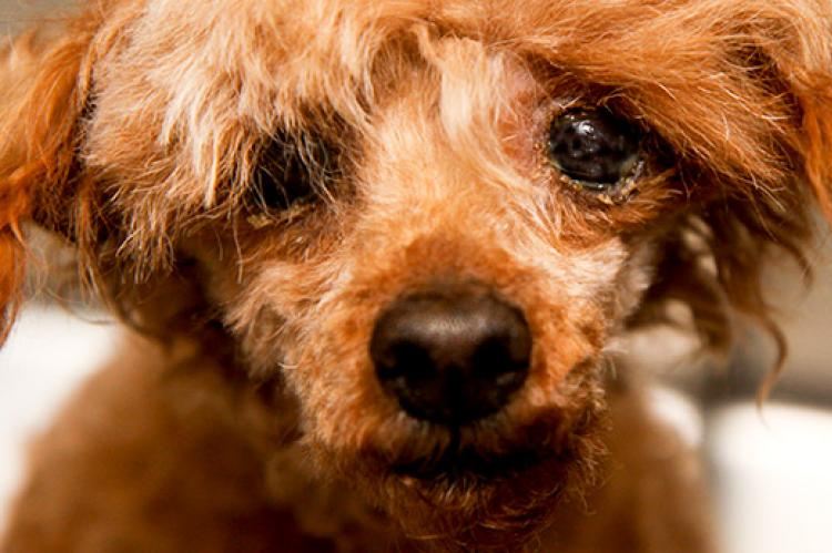 Blind puppy from a puppy mill