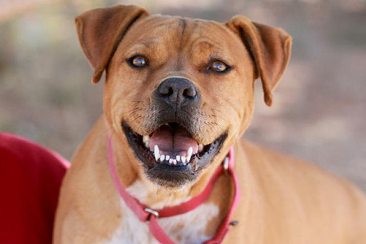 Pitbull mix who is part of a pitbull program to dispel myths about the breed