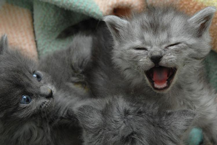 Gray kitten meowing loudly